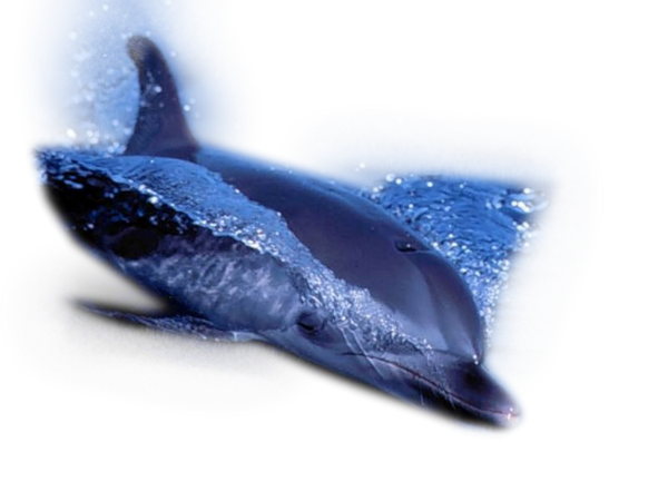 dauphins,coquillages,océan,mer,étoile de mer